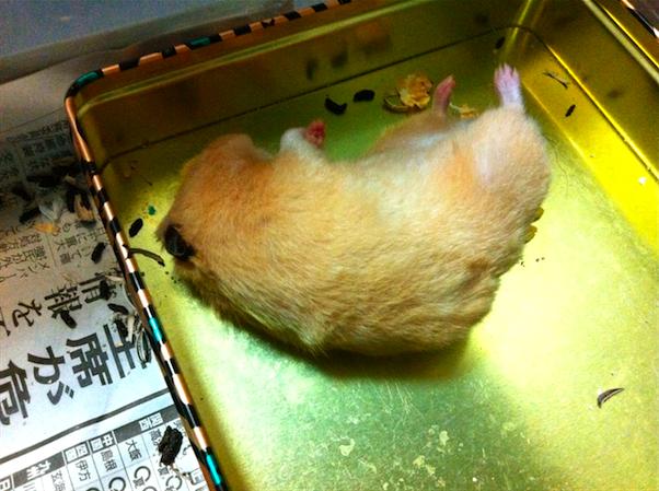 キンクマ 野良寝