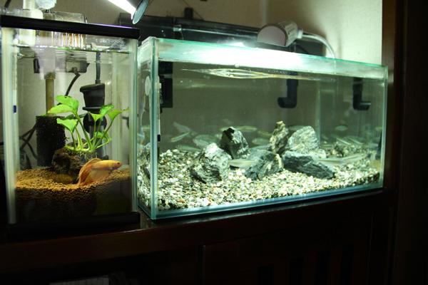 ベタ水槽 日本淡水魚 日淡