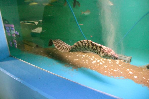 ウツボ 全体 おきのはた水族館