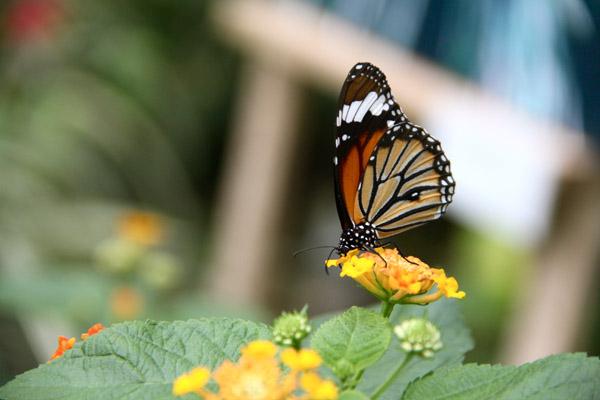 ぐりんぐりん 蝶