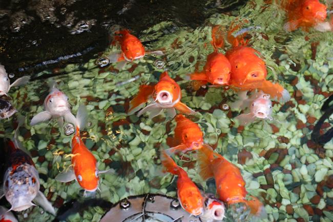 長崎 中華街 鯉