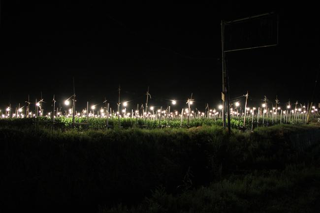 電照菊 畑 夜 電気