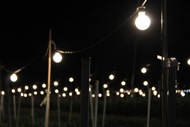 電照菊 畑 白熱灯 栽培