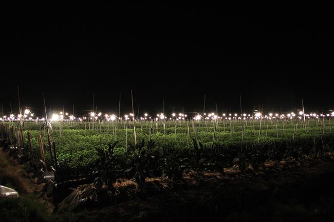 電照菊 畑 栽培 夜 電気