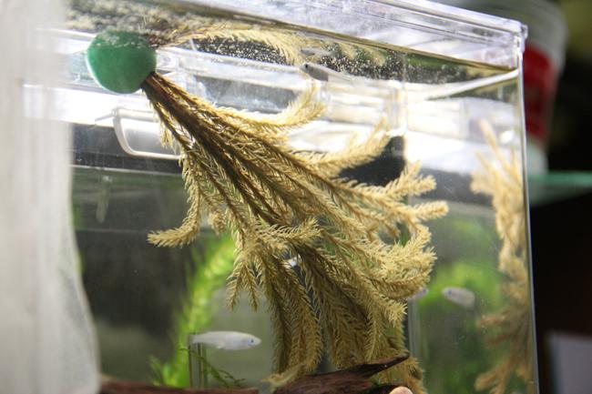 SUDO スドー メダカ 産卵藻