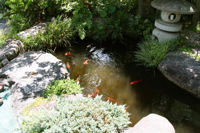 南蔵院 鯉
