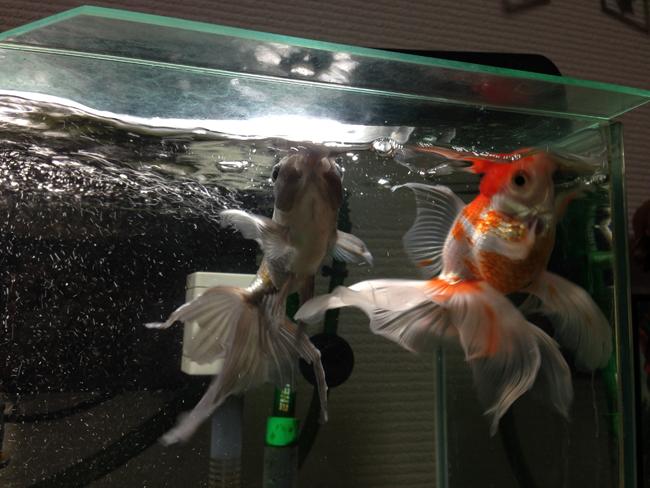 金魚 青文 オランダシシガシラ