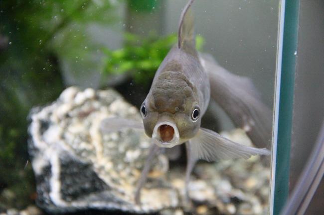 青文魚 金魚