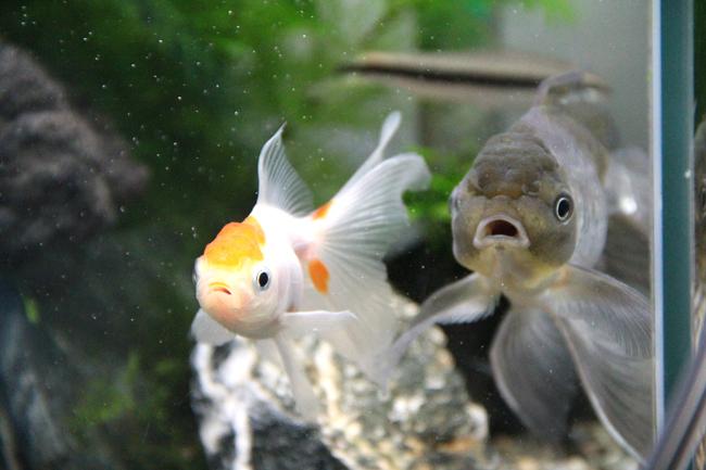 金魚 青文魚 獅子頭