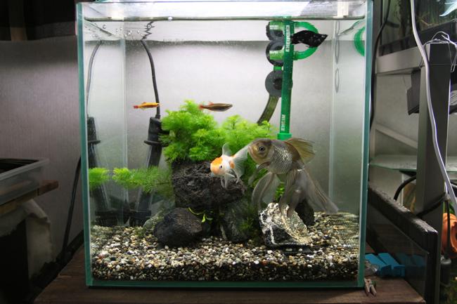 金魚水槽 青文魚 獅子頭