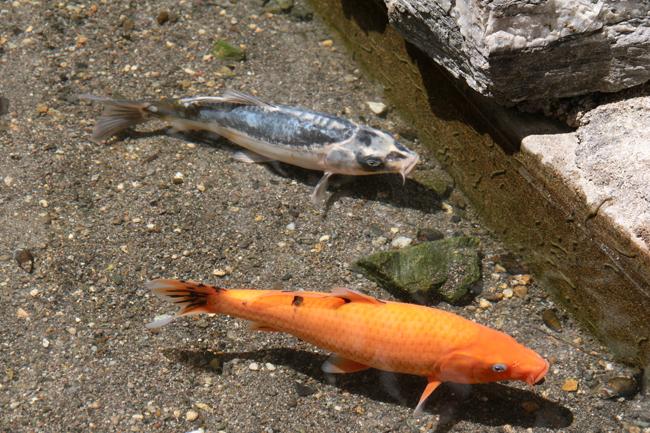 鯛生金山 鯉
