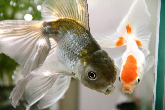 青文魚 オランダ獅子頭