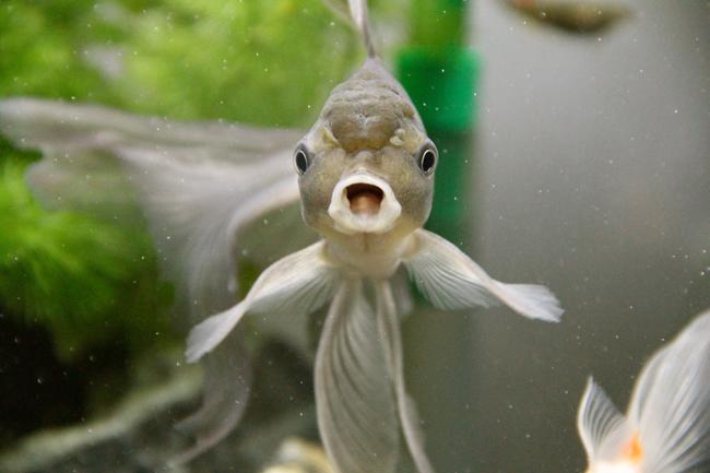 青文魚 口