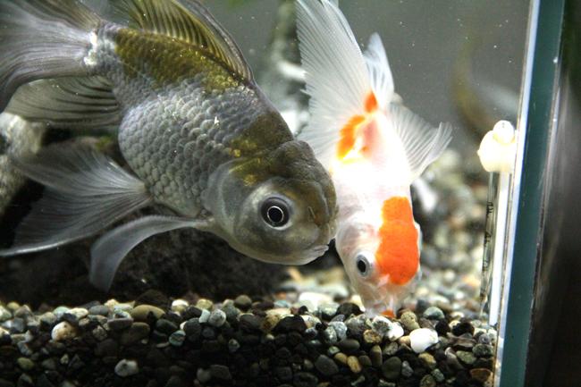 銀 カニカマ 青文魚 オランダ獅子頭 金魚