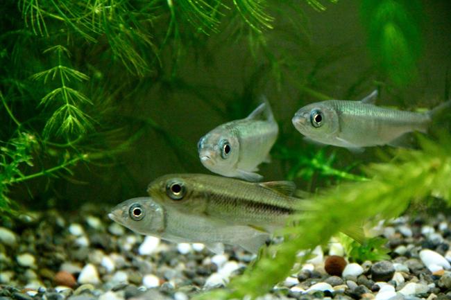 カワムツ 川魚 日淡