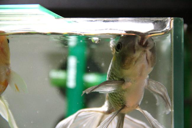 金魚 餌 食べる