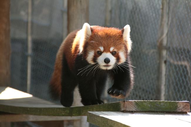 大牟田市動物園 レッサーパンダ