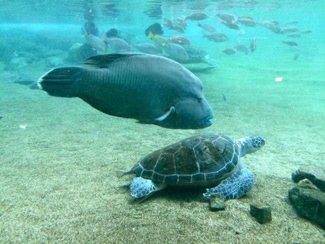 八景島シーパラダイス ウミガメ ナポレオンフィッシュ