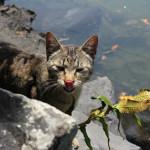 明神池 猫