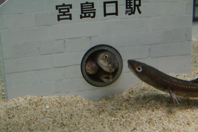 宮島水族館 穴子