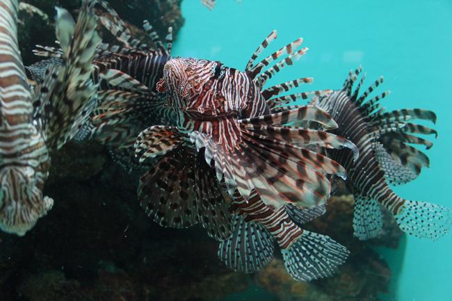 宮島水族館 ミノカサゴ