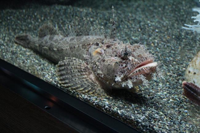 宮島水族館 オニオコゼ