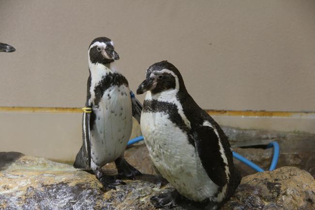 宮島水族館 ペンギン