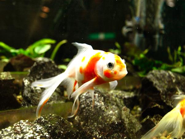 マリンワールド 金魚