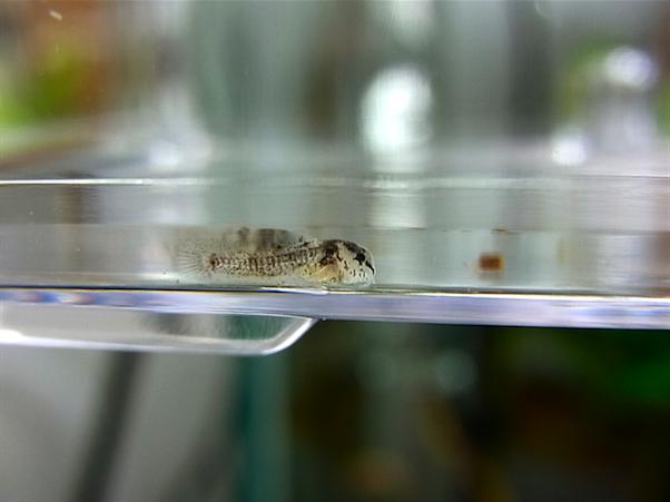 コリドラス ステルバイ 稚魚