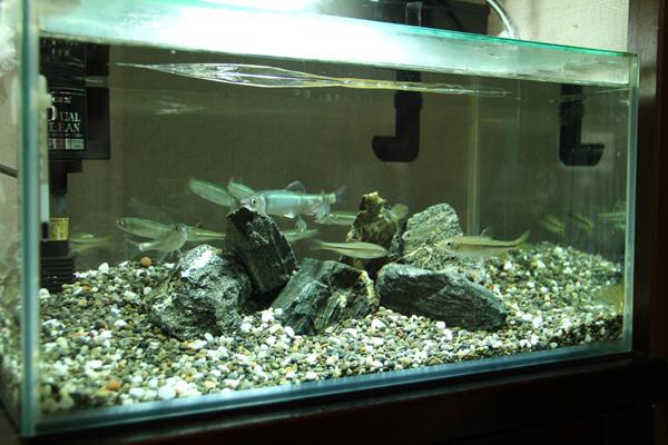 日本淡水魚 水槽