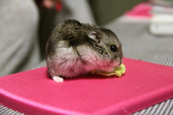 マウスパッド ハムスター