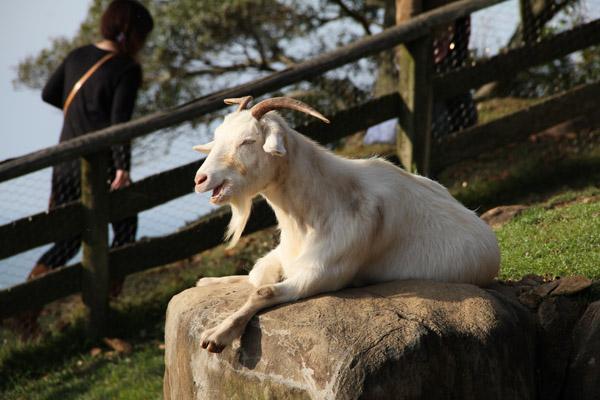 能古島 山羊