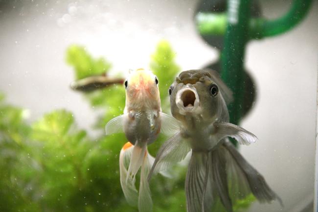 青文魚 獅子頭