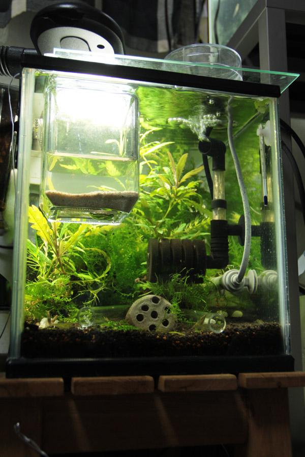 ミナミヌマエビ 繁殖 水槽