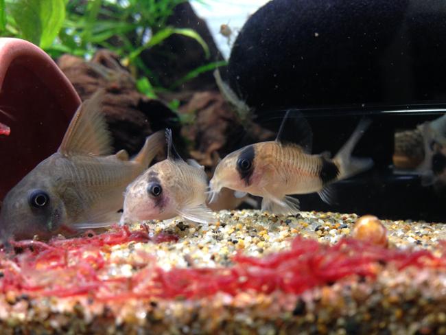 コリドラス 赤虫