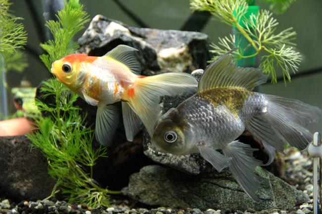 青文魚 オランダシシガシラ