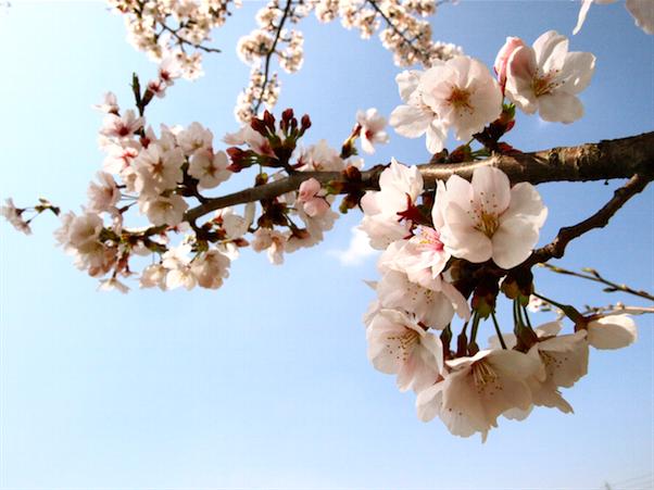 福智山ろく花公園 桜