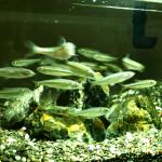 最近の川魚事情。